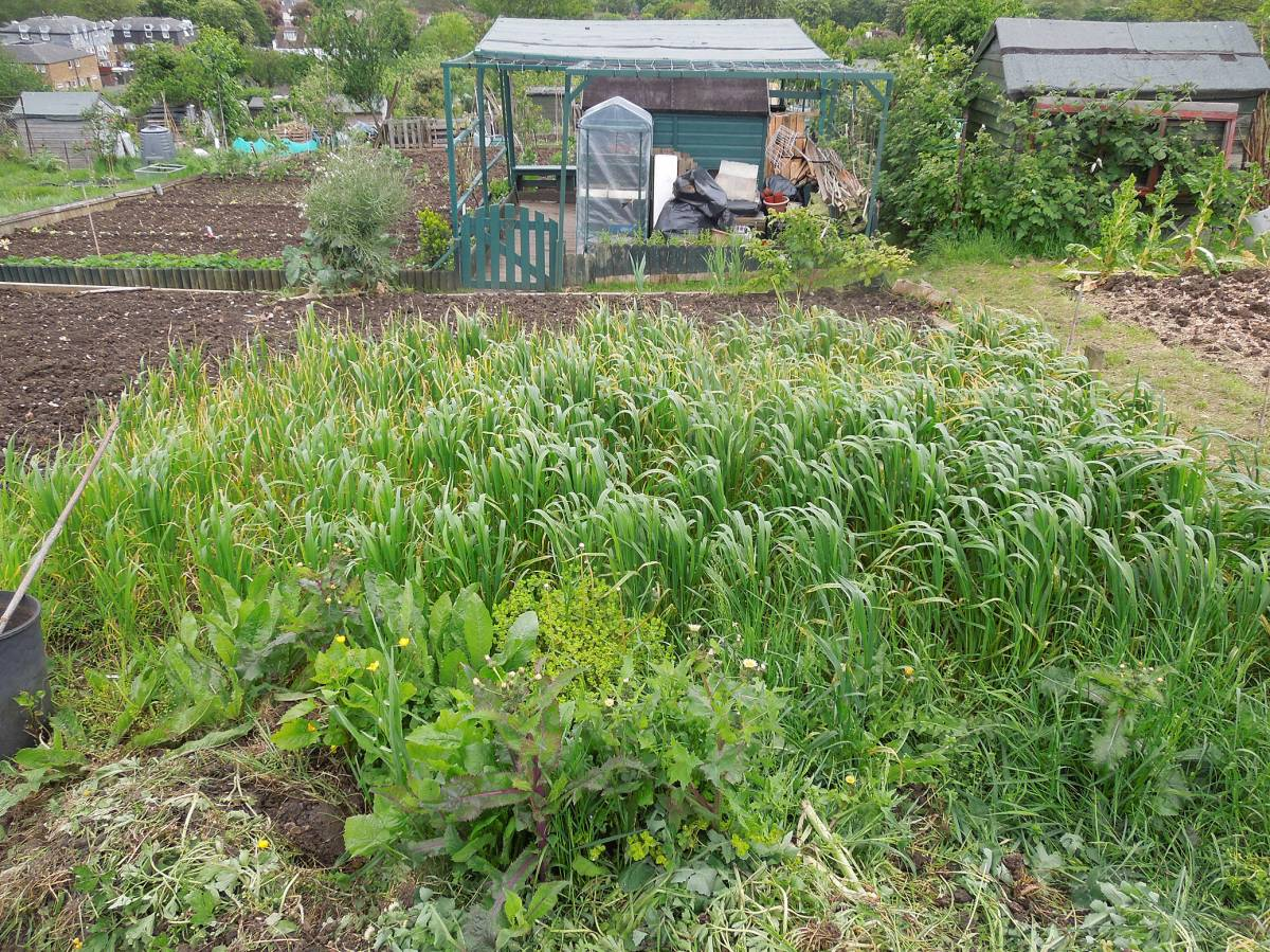 allotment review May #2 - Ble Blanc a Duvet CZ 100773 with Purple Borgen behind - 1:11pm&nbsp;10<sup>th</sup>&nbsp;May.&nbsp;'14