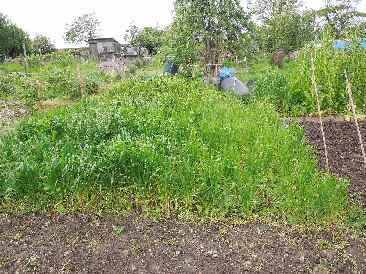 allotment review May #2 - Orange Devon Blue Rough Chaff in front - 1:11pm&nbsp;10<sup>th</sup>&nbsp;May.&nbsp;'14