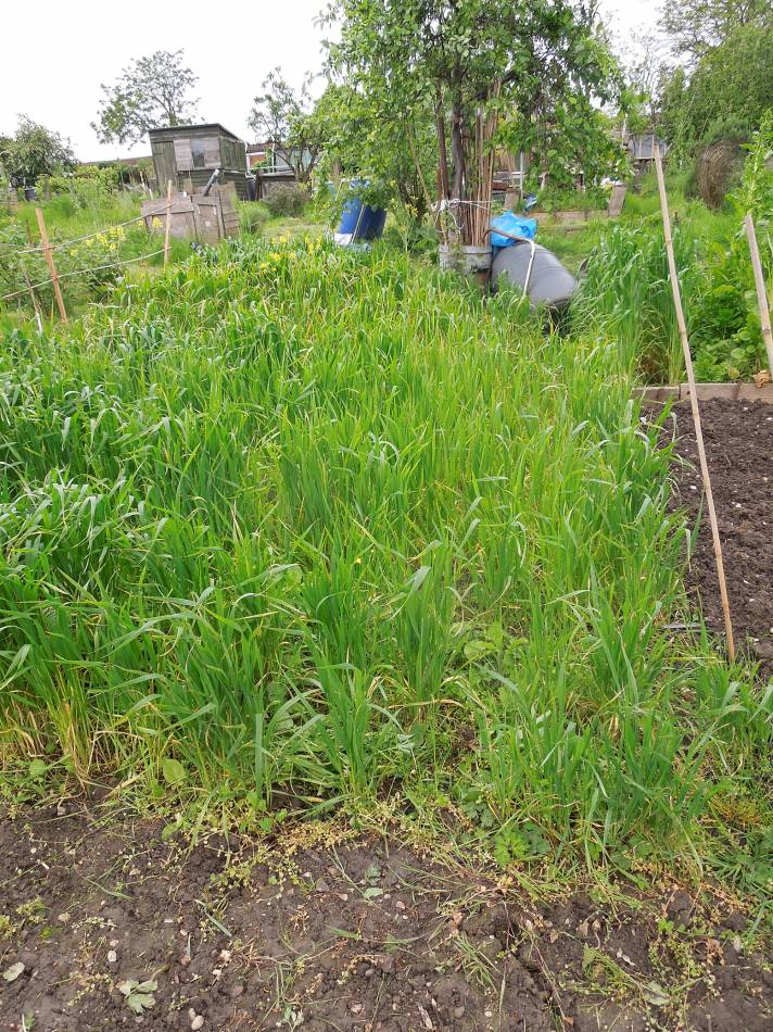 allotment review May #2 -Orange Devon Blue Rough Chaff - branless end - 1:11pm&nbsp;10<sup>th</sup>&nbsp;May.&nbsp;'14