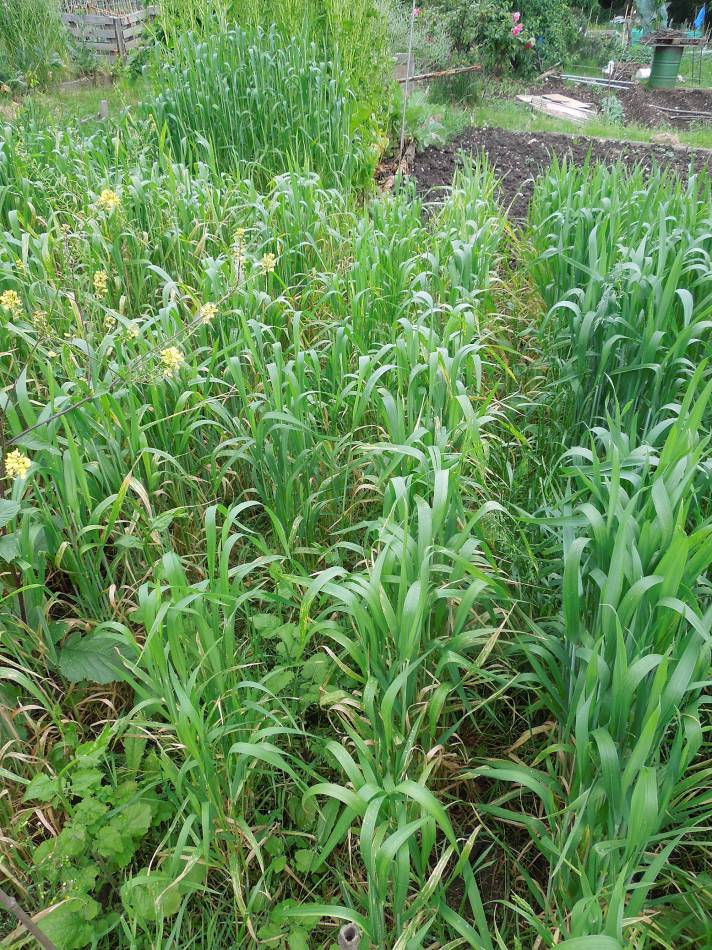 allotment review May #3 - Purple Spelt - 9:18am&nbsp;21<sup>st</sup>&nbsp;May.&nbsp;'14