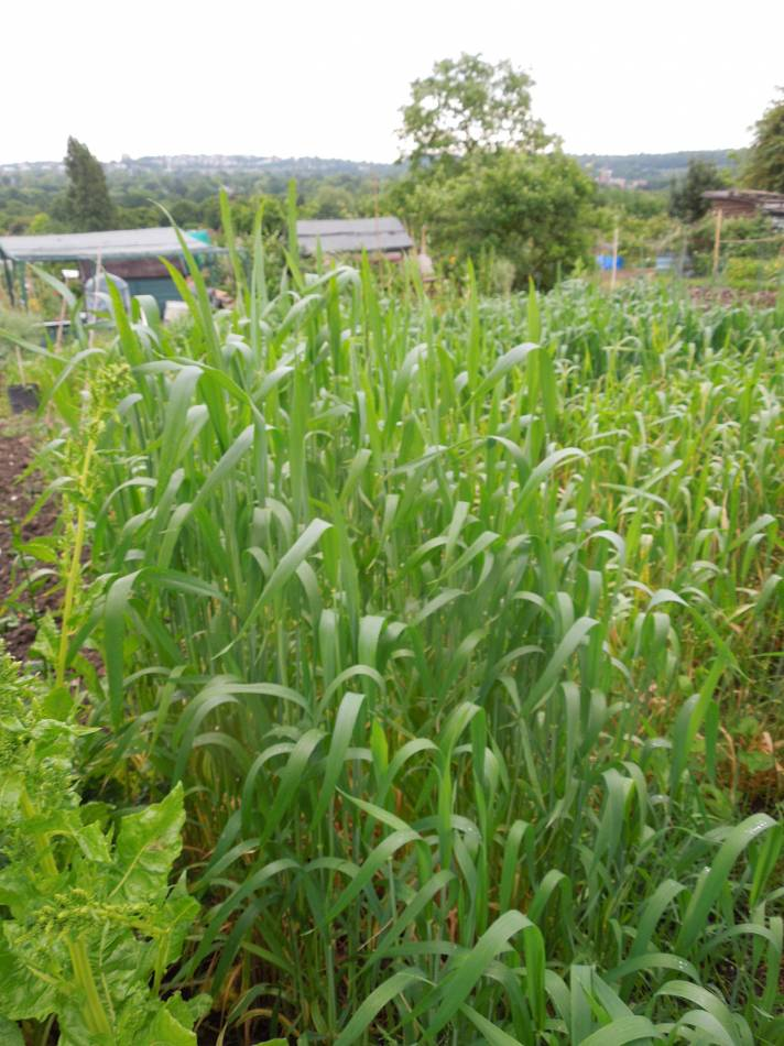 allotment review May #3 - Orange Devon White Rough Chaff - 9:20am&nbsp;21<sup>st</sup>&nbsp;May.&nbsp;'14