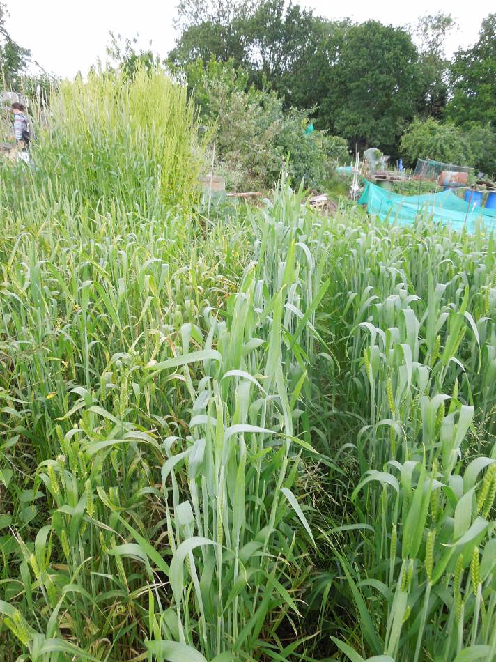 allotment review May #3 - Ble Blanc de Flanders # 05837 - 9:42am&nbsp;4<sup>th</sup>&nbsp;Jun.&nbsp;'14