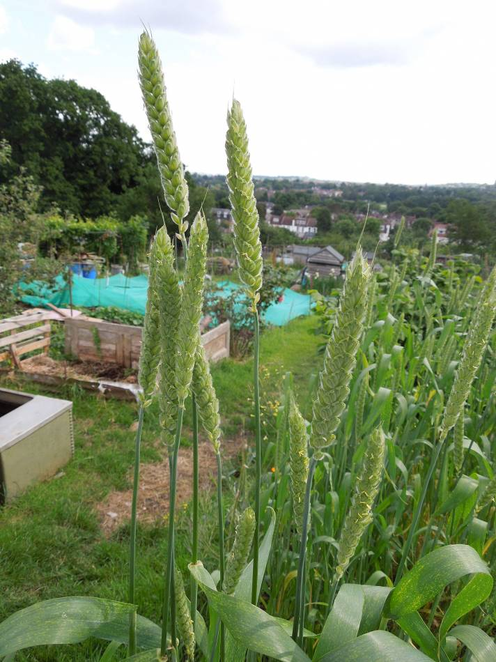 allotment review May #3 - Ble d'Haie, FR 1429 - 9:43am&nbsp;4<sup>th</sup>&nbsp;Jun.&nbsp;'14