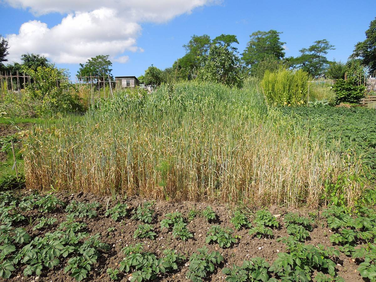 allotment review - June #1 - Purple Borgen with branless strip on right - 9:14am&nbsp;9<sup>th</sup>&nbsp;Jun.&nbsp;'14