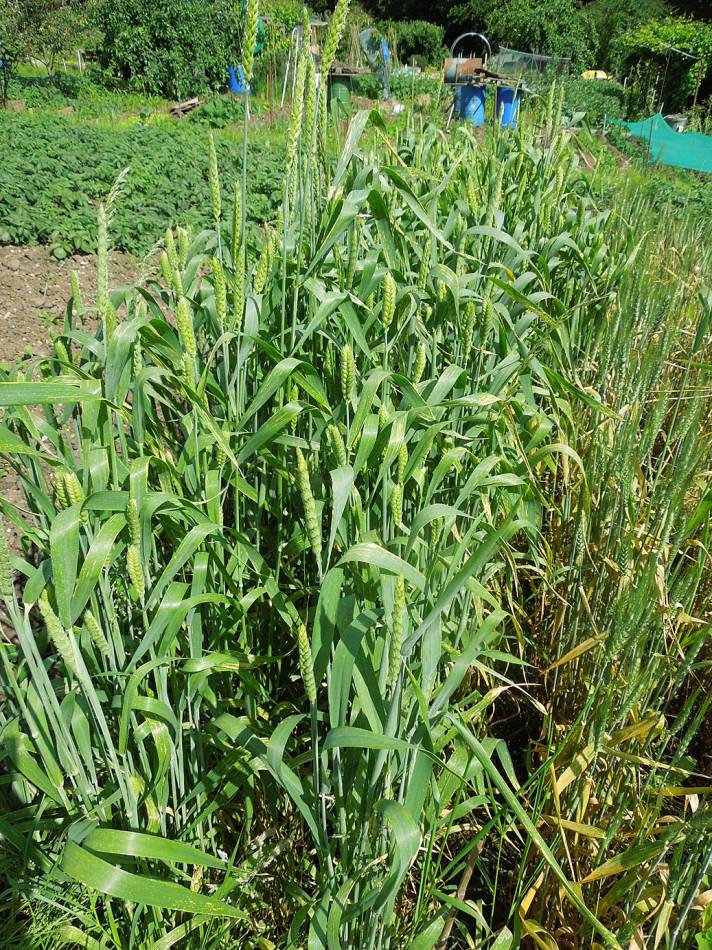 allotment review - June #1 - Ble Blanc a Duvet CZ 100773 - 9:15am&nbsp;9<sup>th</sup>&nbsp;Jun.&nbsp;'14