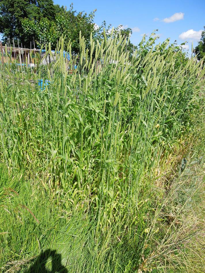 allotment review - June #1 - Ble d'Haie, FR 1429 - 9:21am&nbsp;9<sup>th</sup>&nbsp;Jun.&nbsp;'14