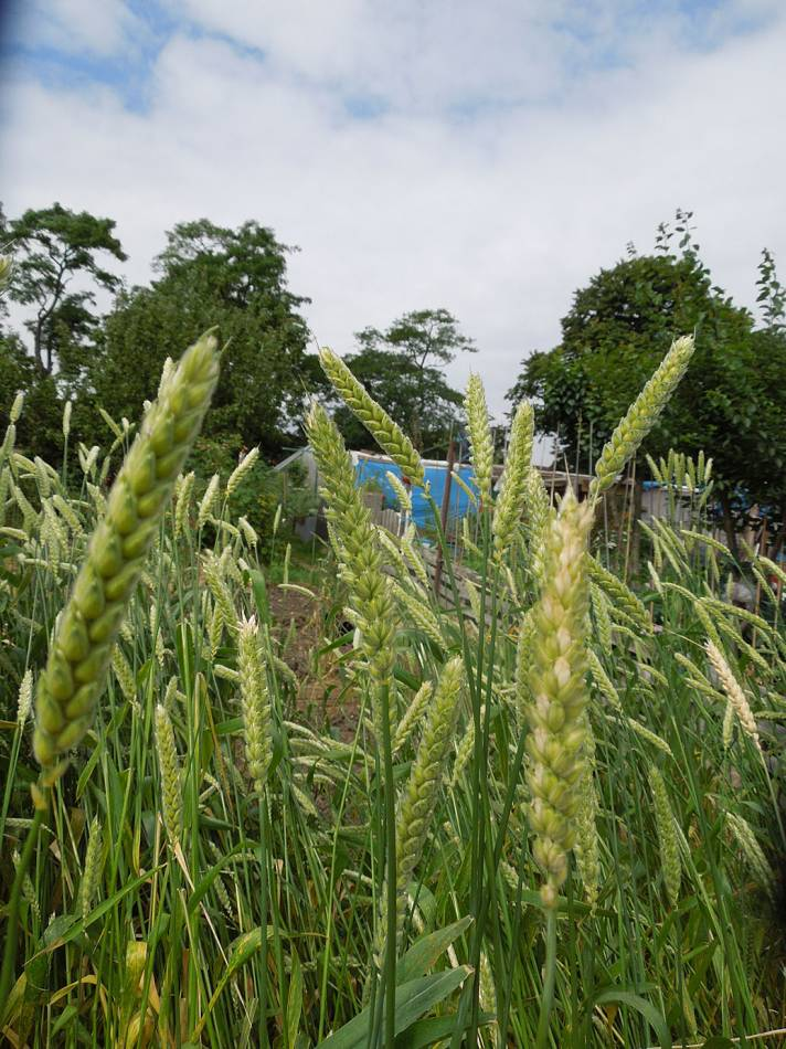 allotment review June #2 - Ble d'Haie, FR 1429 - 10:13am&nbsp;19<sup>th</sup>&nbsp;Jun.&nbsp;'14
