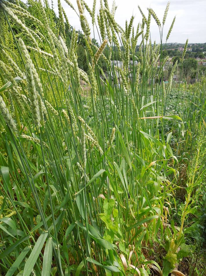 allotment review June #2 - Orange Devon 'white' rough chaff - 10:14am&nbsp;19<sup>th</sup>&nbsp;Jun.&nbsp;'14