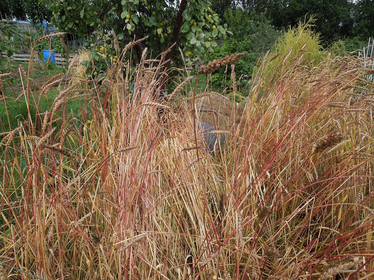 plot review - lodging in JIC Orange Devon Blue Rough Chaff (?)<br> - 10:56am&nbsp;12<sup>th</sup>&nbsp;Jul.&nbsp;'14