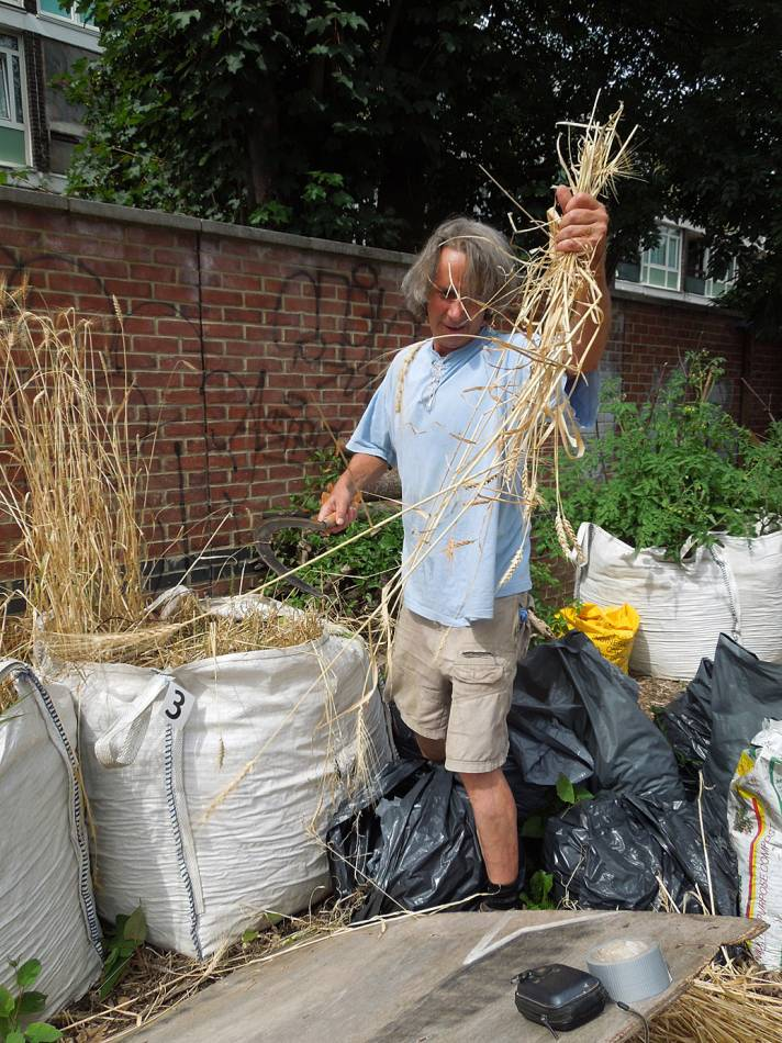 Georgian wheat, Tsiteli Doli being harvested on Loughborough Community Farm. - 2:07pm&nbsp;18<sup>th</sup>&nbsp;Jul.&nbsp;'14
