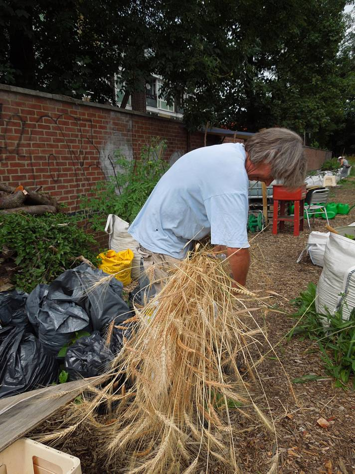 Georgian wheat, Tsiteli Doli being harvested on Loughborough Community Farm. - 2:11pm&nbsp;18<sup>th</sup>&nbsp;Jul.&nbsp;'14