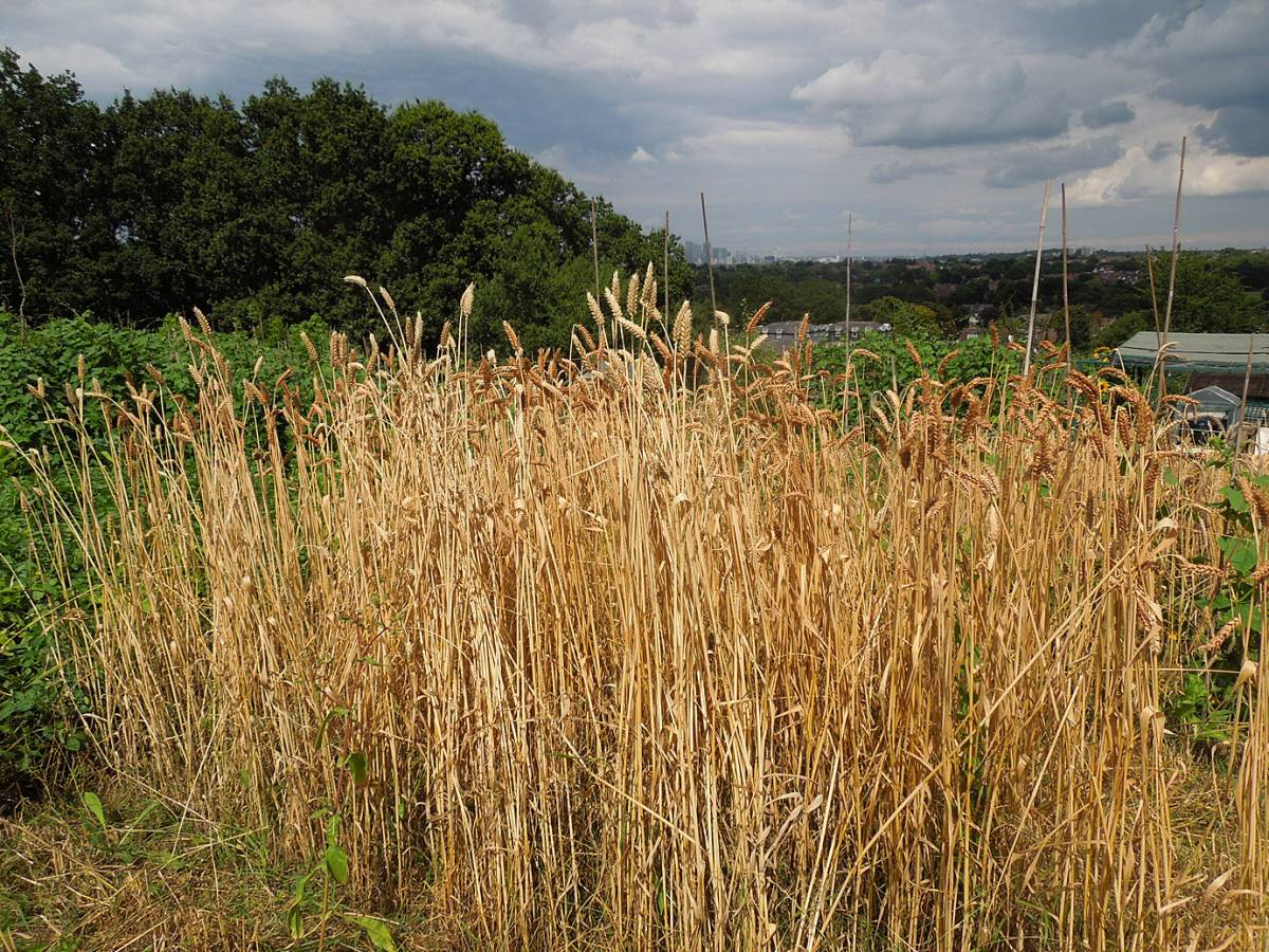 BBA heritage grain London harvest 2014, row of Flanders in front of Chidham Red - 2:14pm&nbsp;27<sup>th</sup>&nbsp;Jul.&nbsp;'14