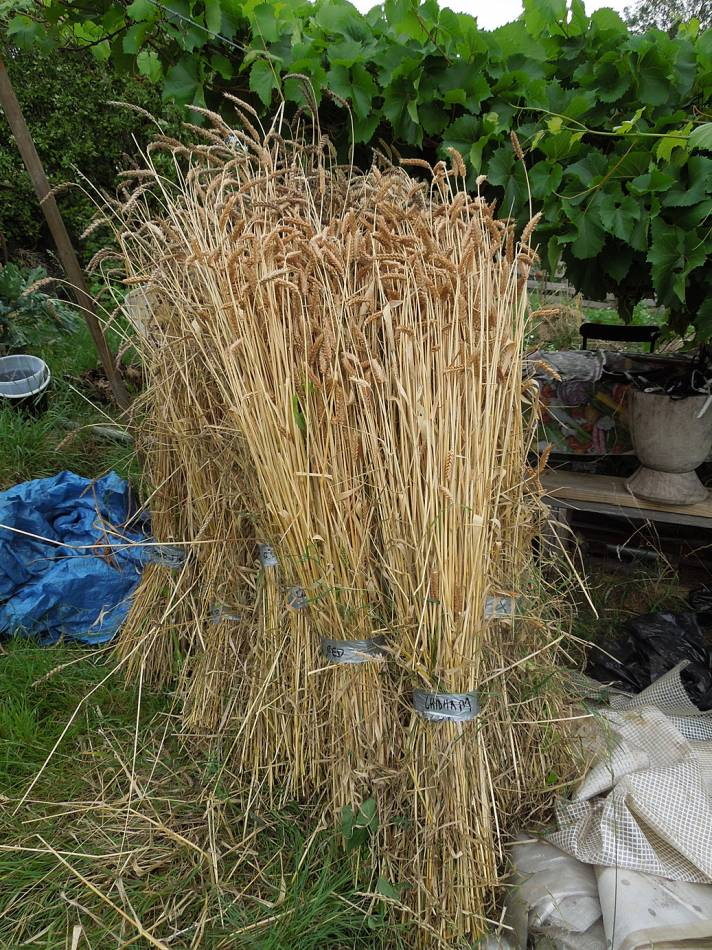 BBA heritage grain London harvest 2014 - 3:05pm&nbsp;27<sup>th</sup>&nbsp;Jul.&nbsp;'14