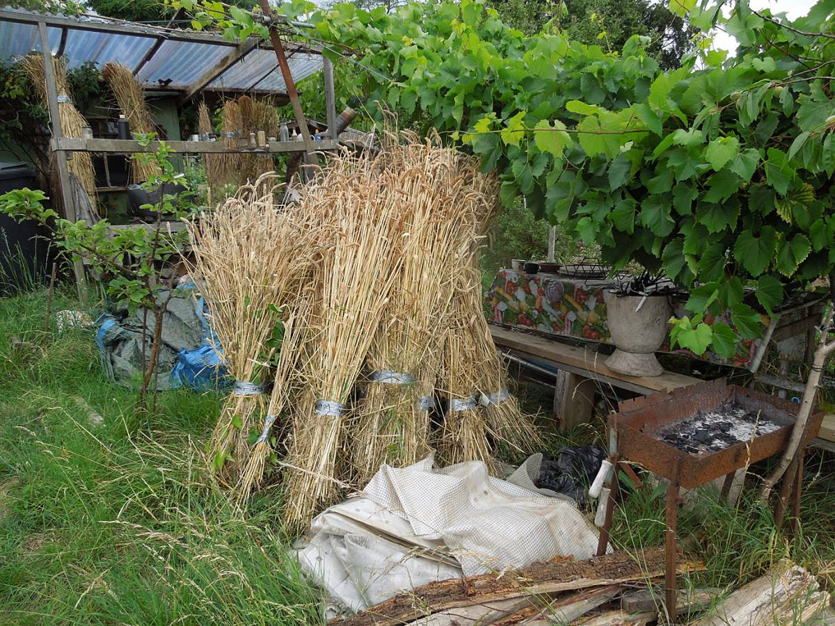 BBA heritage grain London harvest 2014 - 3:55pm&nbsp;27<sup>th</sup>&nbsp;Jul.&nbsp;'14
