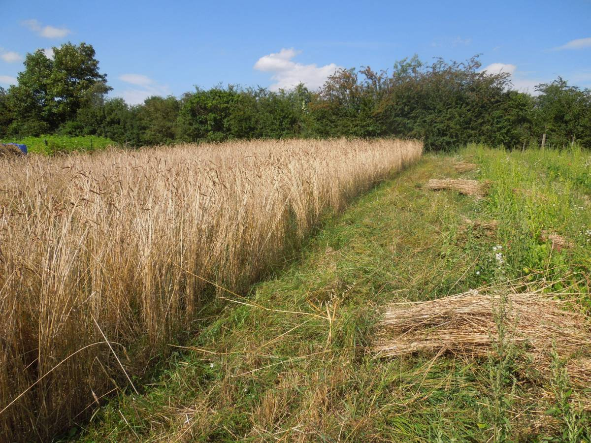 Perry Court biodynamic Farm harvest 2014 - Red Lammas composite - 2:47pm&nbsp;4<sup>th</sup>&nbsp;Aug.&nbsp;'14