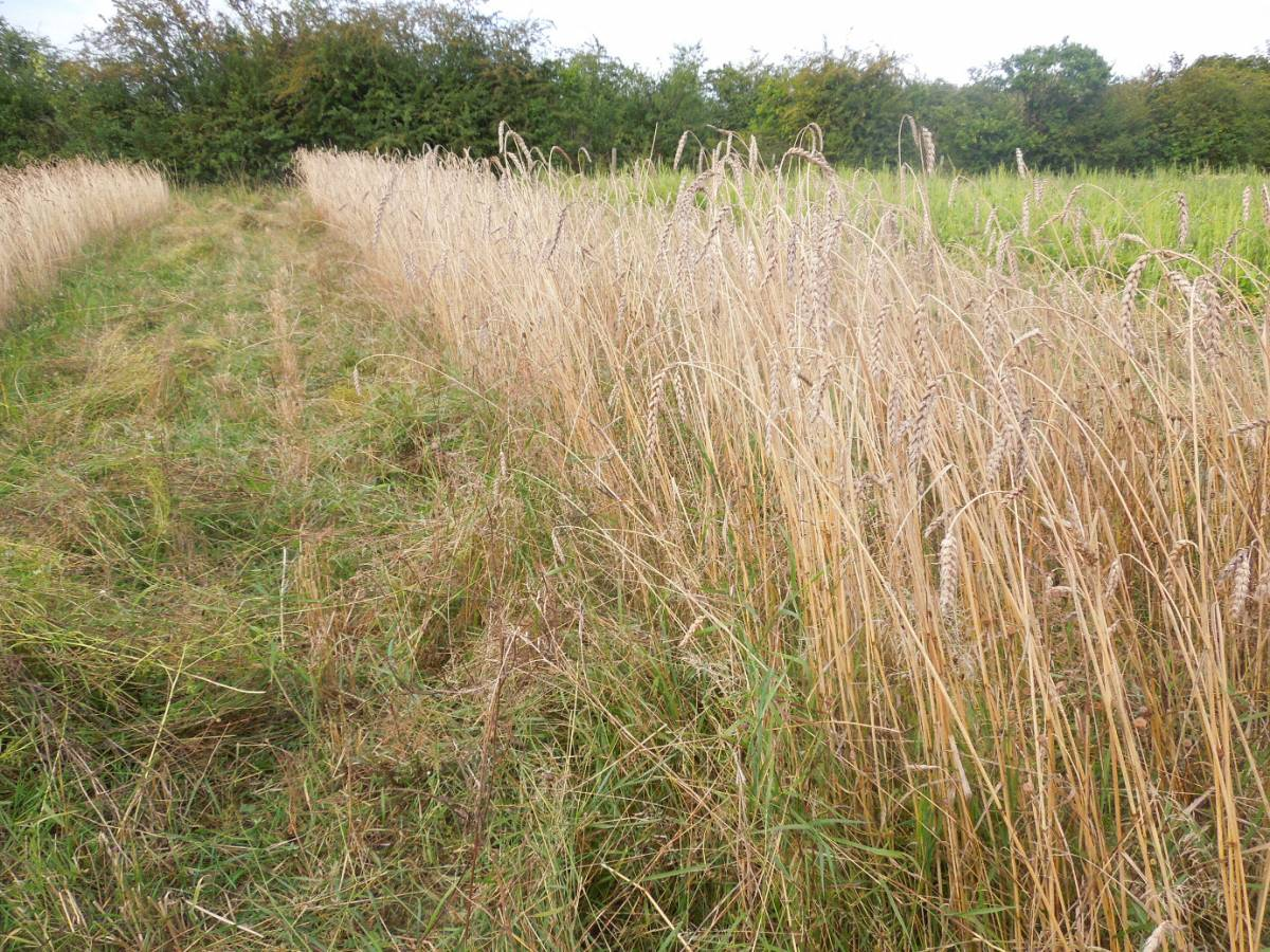 Perry Court biodynamic Farm harvest 2014 - 5:36pm&nbsp;4<sup>th</sup>&nbsp;Aug.&nbsp;'14