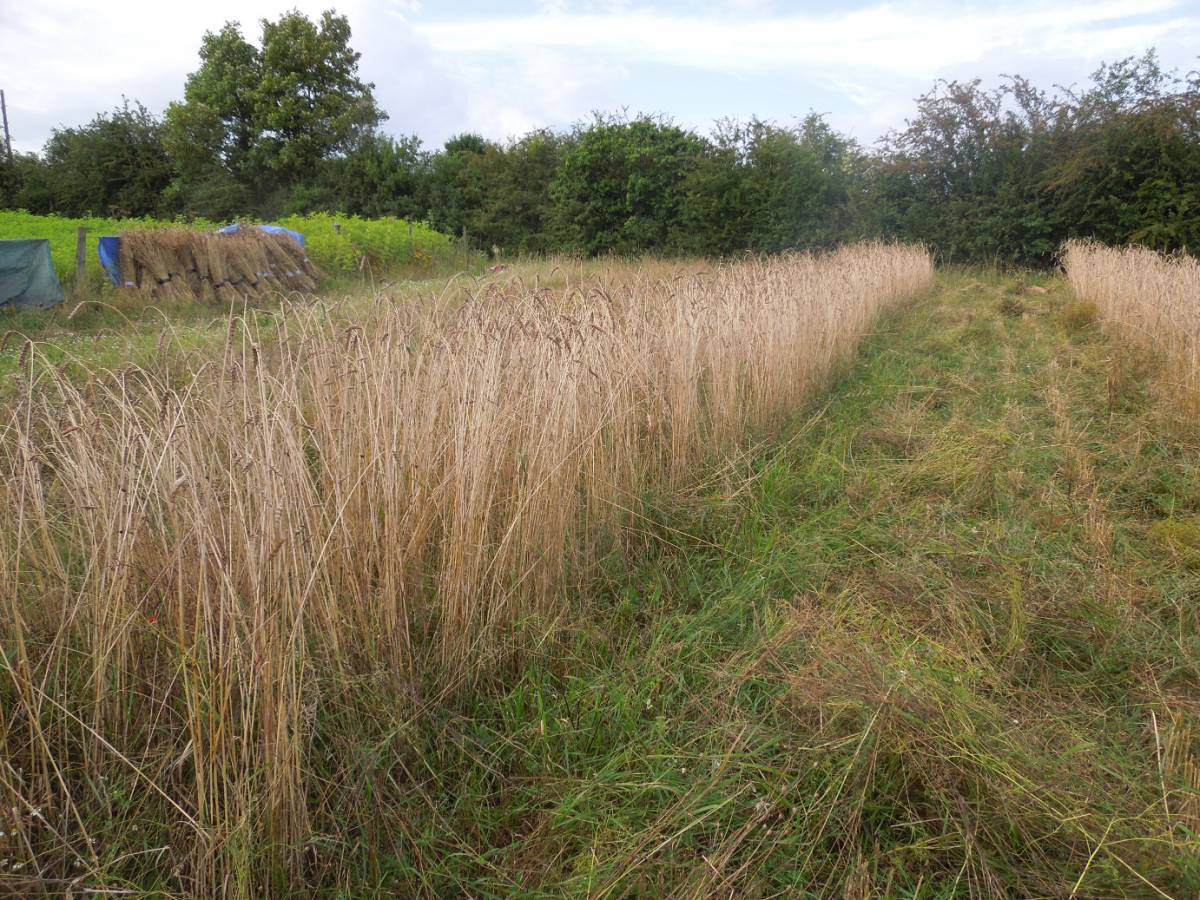 Perry Court biodynamic Farm harvest 2014 - Hrn Gymro on left - 5:36pm&nbsp;4<sup>th</sup>&nbsp;Aug.&nbsp;'14