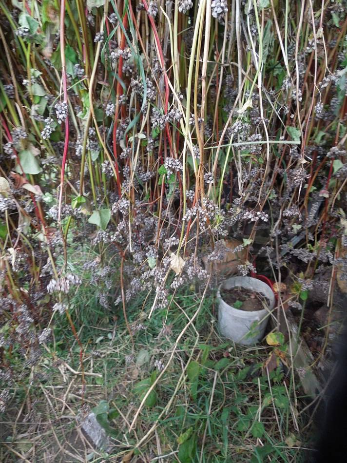 buckwheat harvest - Rosendale allotments - 5:08pm&nbsp;21<sup>st</sup>&nbsp;Oct.&nbsp;'14