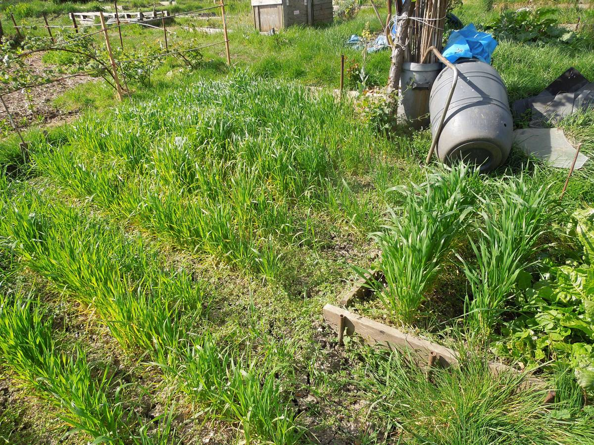 allotment (leaf rust) review - May #1 - bran less strip to the right - 9:31am&nbsp;17<sup>th</sup>&nbsp;Apr.&nbsp;'14
