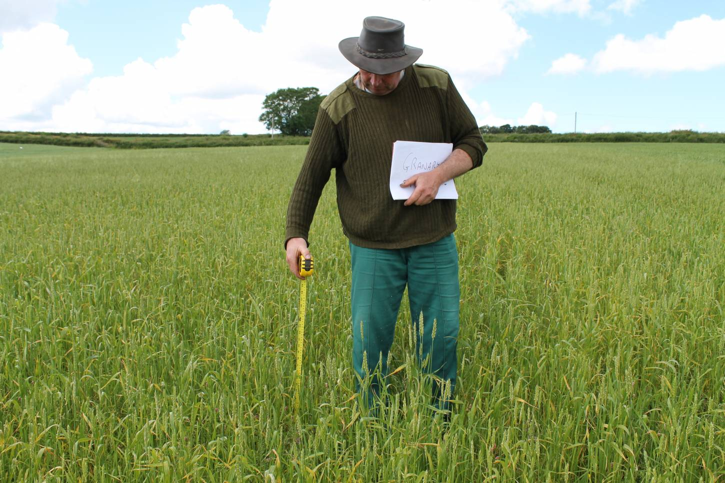 Comparing spring wheats in Carmarthenshire - Granary modern Nabim Group 2 spring wheat - 12:43pm&nbsp;6<sup>th</sup>&nbsp;Jul.&nbsp;'14