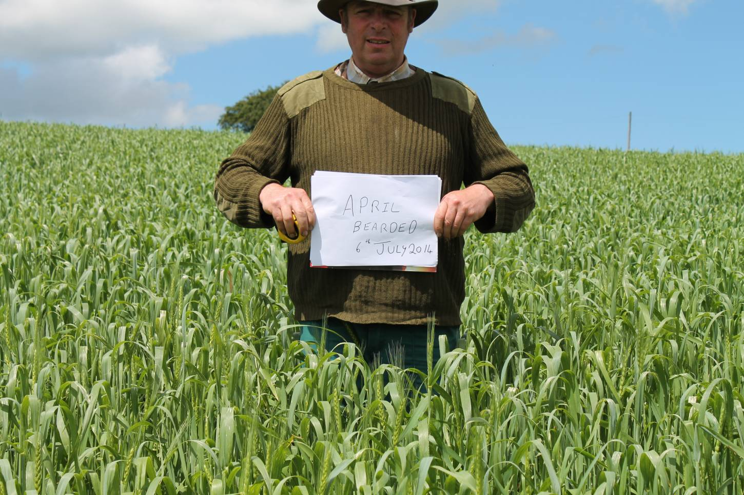 Comparing spring wheats in Carmarthenshire - April Bearded, 19th C landrace spring wheat - 1:01pm&nbsp;6<sup>th</sup>&nbsp;Jul.&nbsp;'14
