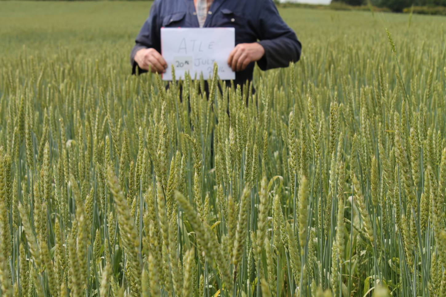 Comparing spring wheats in Carmarthenshire - Atle, late heritage spring wheat from Sweden, released 1937 - 2:34pm&nbsp;20<sup>th</sup>&nbsp;Jul.&nbsp;'14