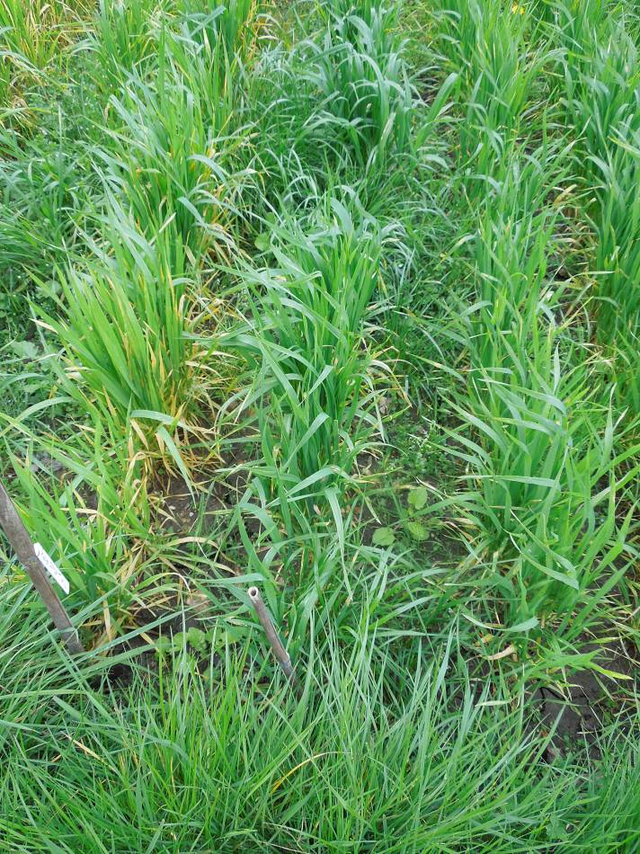 allotment (leaf rust) review - May #1 - Flanders 05837 - 10:56am&nbsp;26<sup>th</sup>&nbsp;Apr.&nbsp;'14