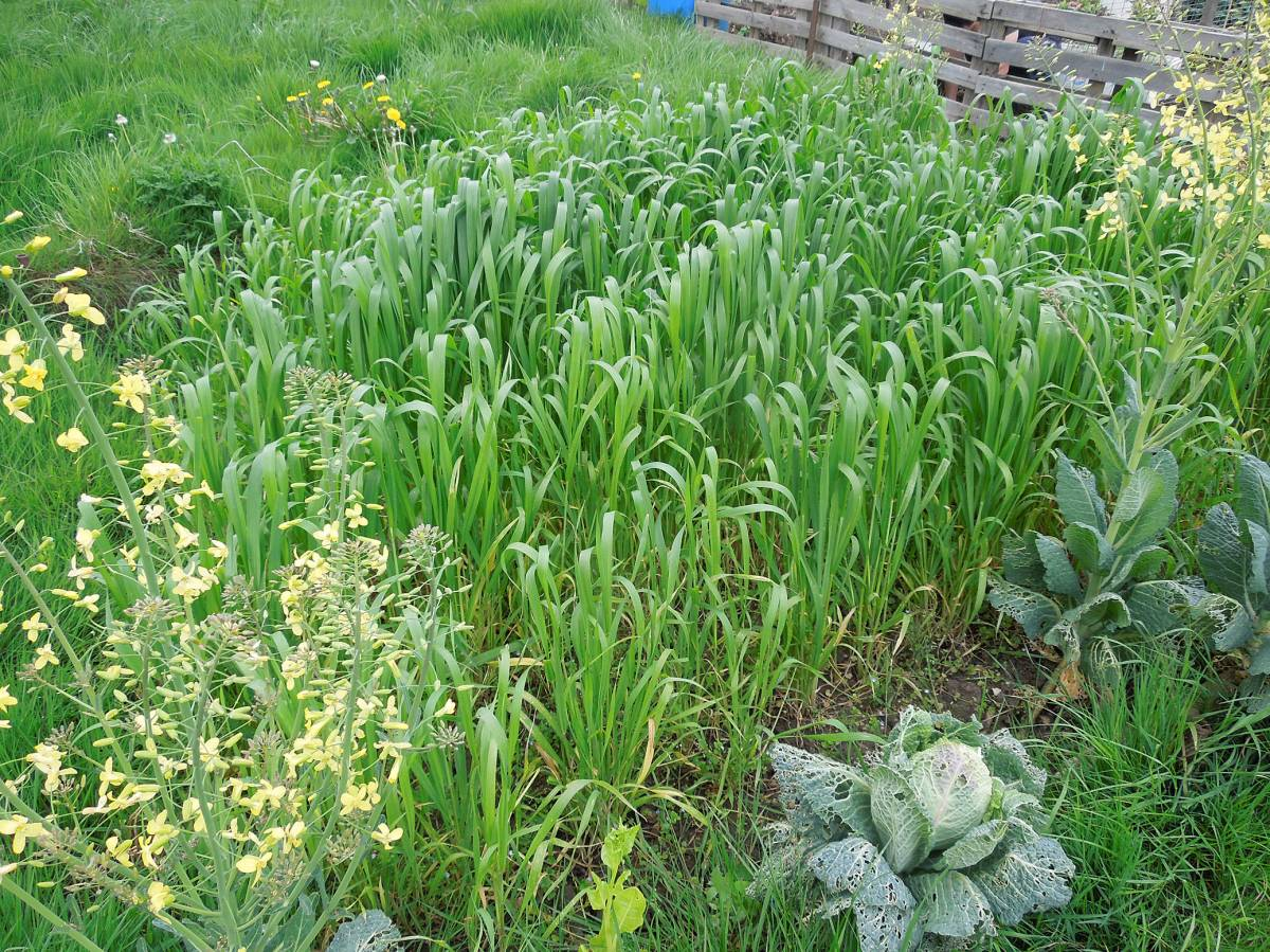 allotment (leaf rust) review - May #1 - Ble d'Haie - 10:58am&nbsp;26<sup>th</sup>&nbsp;Apr.&nbsp;'14