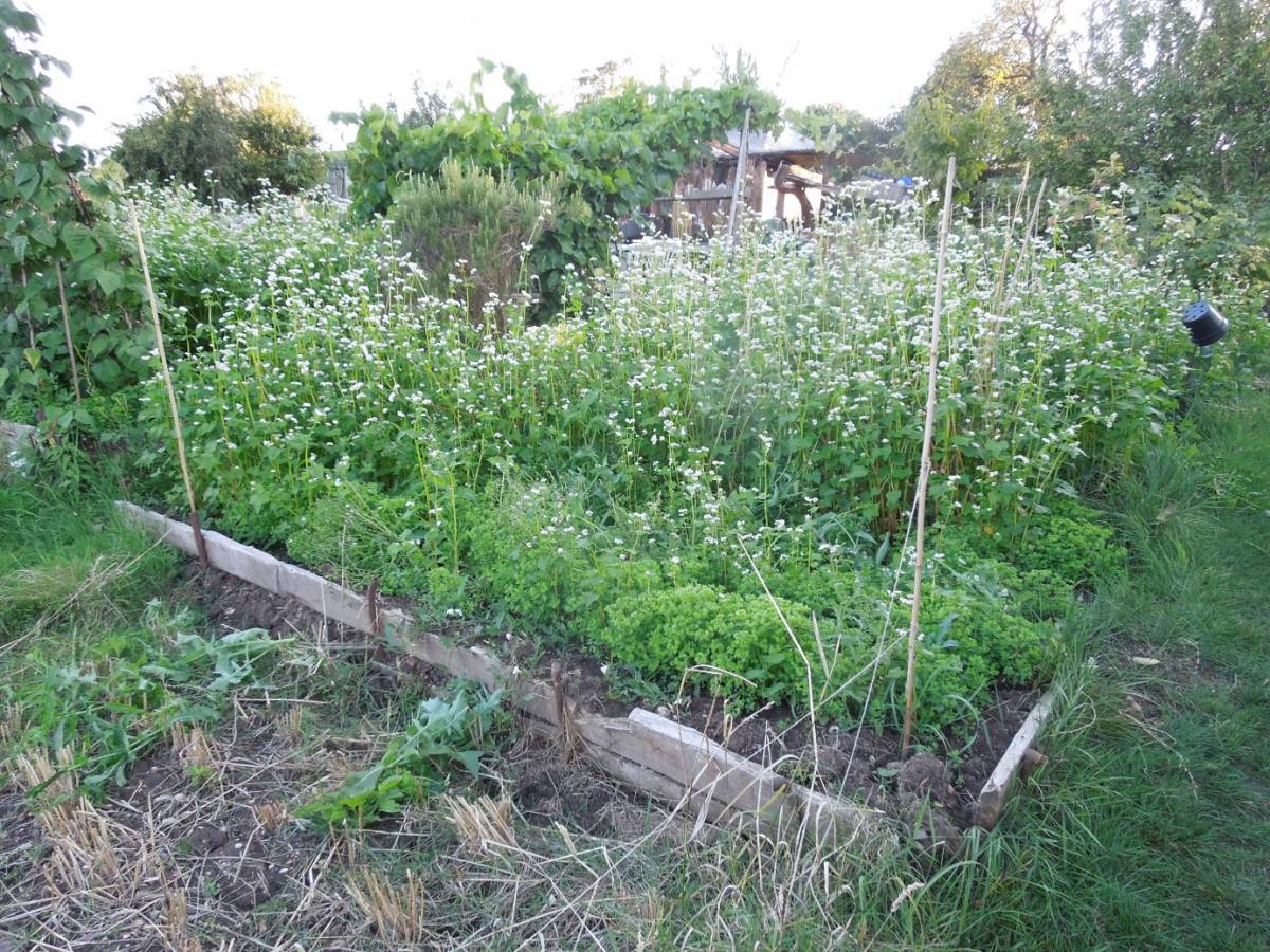 buckwheat Petit Gris on allotment - 7:24pm&nbsp;17<sup>th</sup>&nbsp;Aug.&nbsp;'14