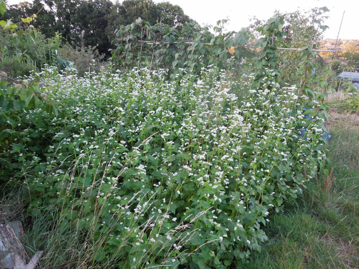 buckwheat Petit Gris on allotment - 7:50pm&nbsp;17<sup>th</sup>&nbsp;Aug.&nbsp;'14