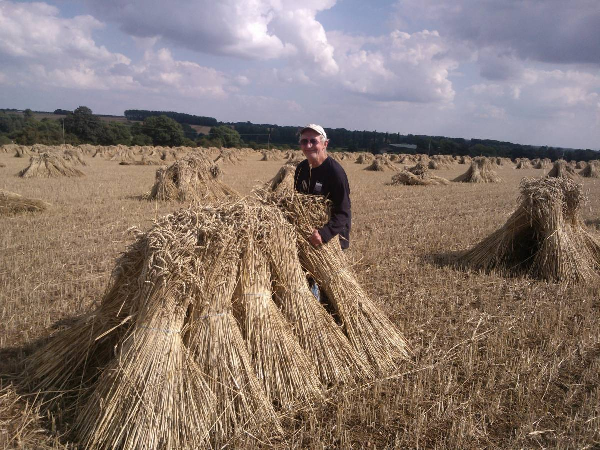Nigel Brown and Karen Giggs Maris Widgeon crop for thatching, near Isham, Northamptonshire, website <a href='http://www.thatching-straw.co.uk/index.html' target=_blank>here</a>. Nigel stooking. - 3:09pm&nbsp;26<sup>th</sup>&nbsp;Aug.&nbsp;'13