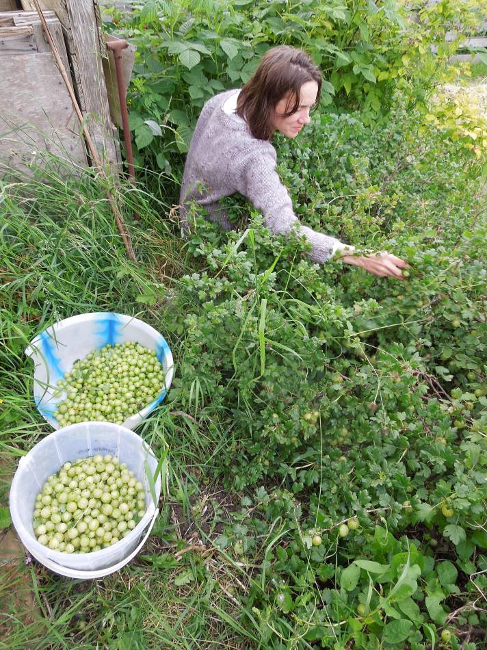 gooseberry harvest, 2014, plot 35 Rosendale Allotments, 4.5K on bush#2 - 6:45pm&nbsp;5<sup>th</sup>&nbsp;Jun.&nbsp;'14