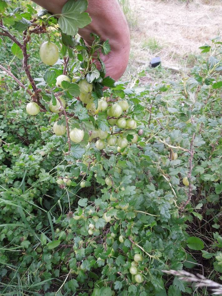 gooseberry harvest, 2014, plot 35 Rosendale Allotments, 10.4K on bush #1 - 6:46pm&nbsp;5<sup>th</sup>&nbsp;Jun.&nbsp;'14