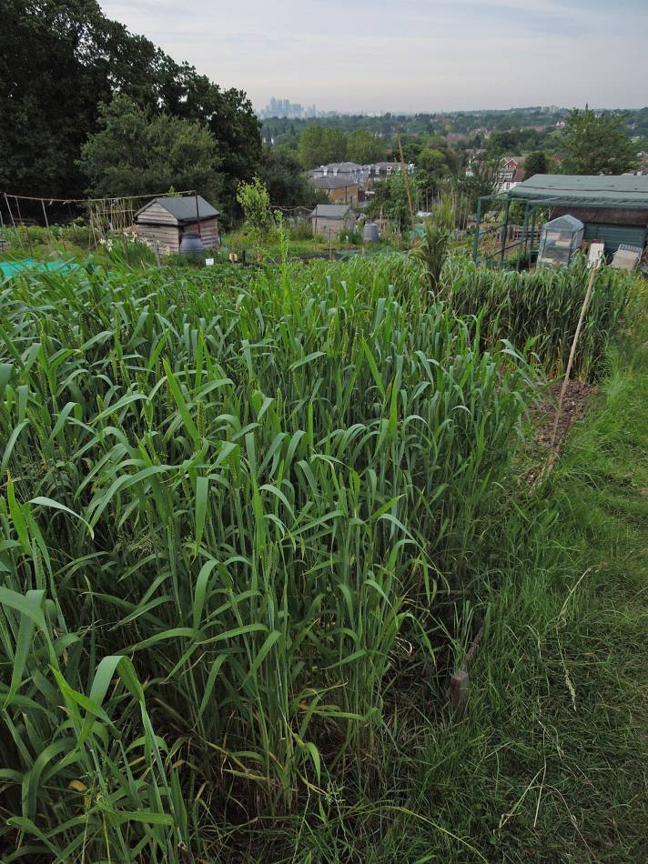 gooseberry harvest, 2014, plot 35 Rosendale Allotments, the wheat now headed - 7:22pm&nbsp;5<sup>th</sup>&nbsp;Jun.&nbsp;'14