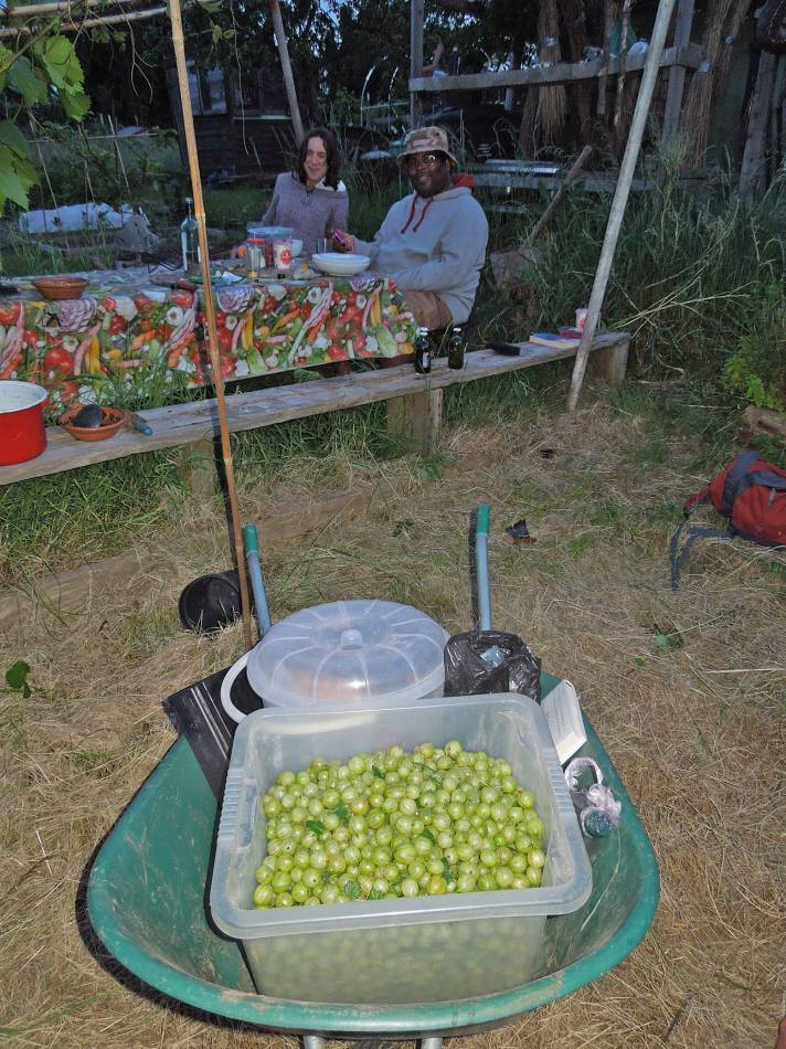 gooseberry harvest, 2014, plot 35 Rosendale Allotments, 10.4K from bush #1 - 8:33pm&nbsp;5<sup>th</sup>&nbsp;Jun.&nbsp;'14