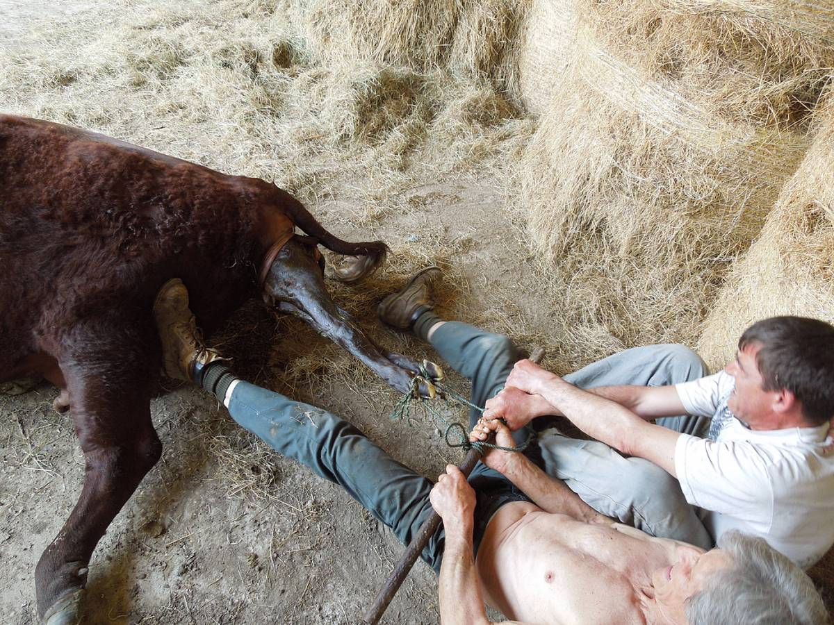 Michael Duveen and Darron Williams assisting at difficult calving, Colin Godmans Farm, W. Sussex - 12:13pm&nbsp;5<sup>th</sup>&nbsp;Jun.&nbsp;'13