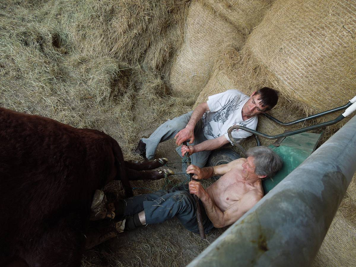 Michael Duveen and Darron Williams assisting at difficult calving, Colin Godmans Farm, W. Sussex - 12:10pm&nbsp;5<sup>th</sup>&nbsp;Jun.&nbsp;'13