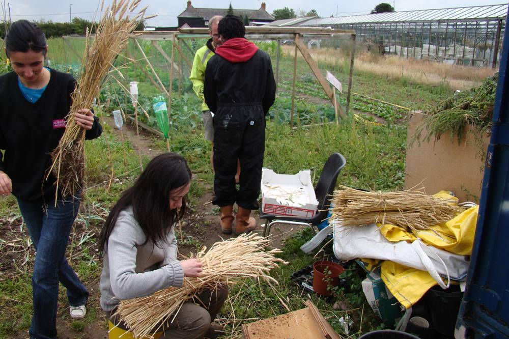 Sutton Community Farm harvest - preparing measly modern wheat sheaves - 14/8/10