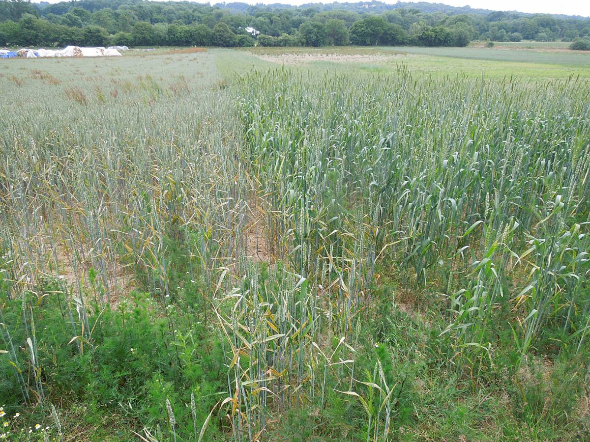 Lambeth Latino right, Magister left, crop review, WoWo Farm, early July '13 - 5:04pm&nbsp;1<sup>st</sup>&nbsp;Jul.&nbsp;'13