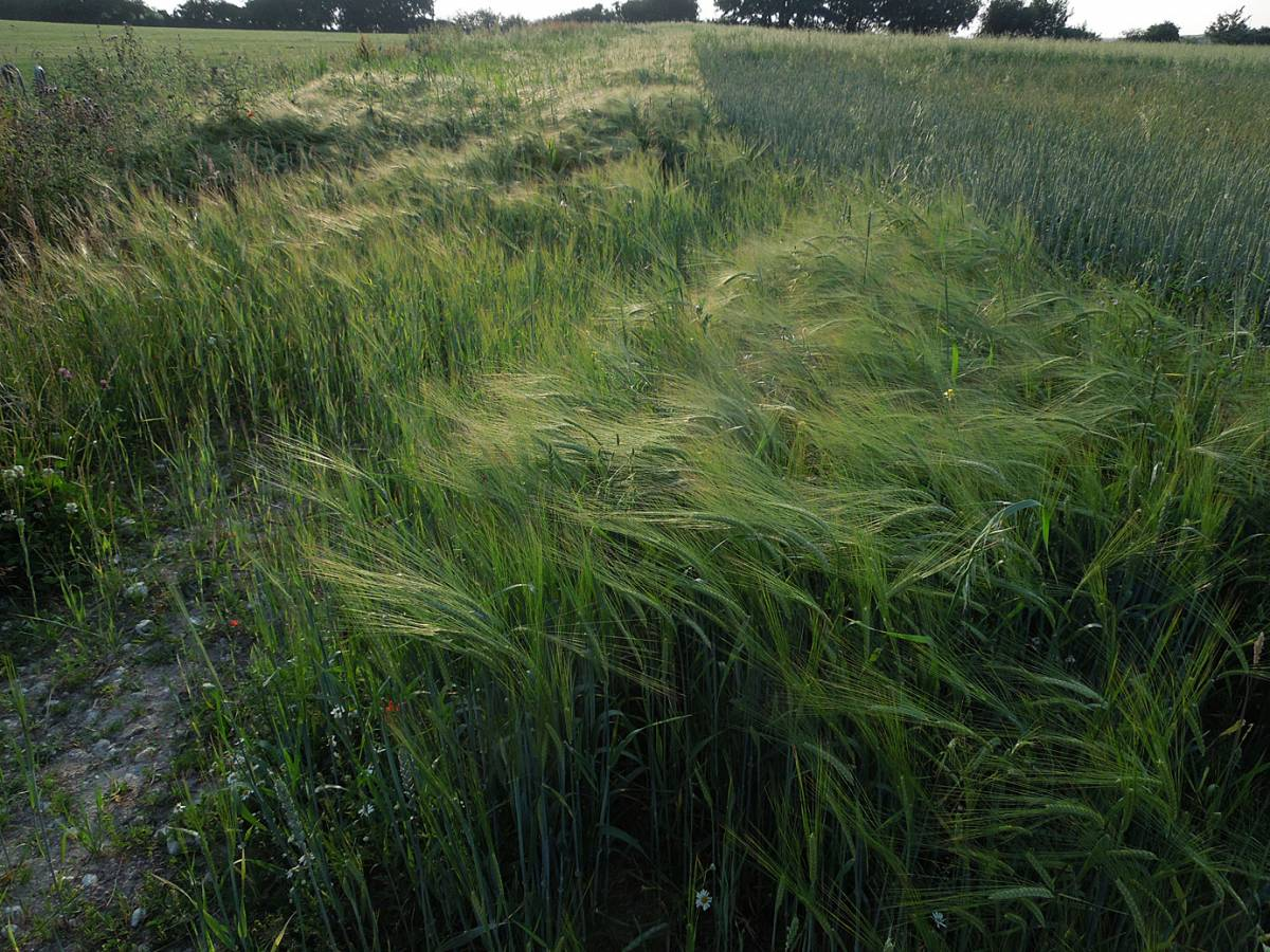 barley - Perry Court Farm review 13/7/13 - 6:28pm&nbsp;12<sup>th</sup>&nbsp;Jul.&nbsp;'13
