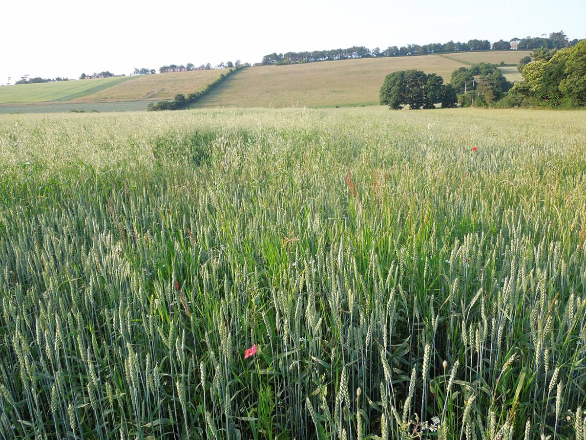 Magister - field #1 - oats intrusion on left - Perry Court Farm review 13/7/13 - 6:29pm&nbsp;12<sup>th</sup>&nbsp;Jul.&nbsp;'13