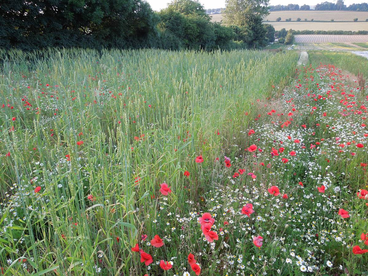 Old Kent Red in foreground - Perry Court Farm review 13/7/13 - 7:06pm&nbsp;12<sup>th</sup>&nbsp;Jul.&nbsp;'13