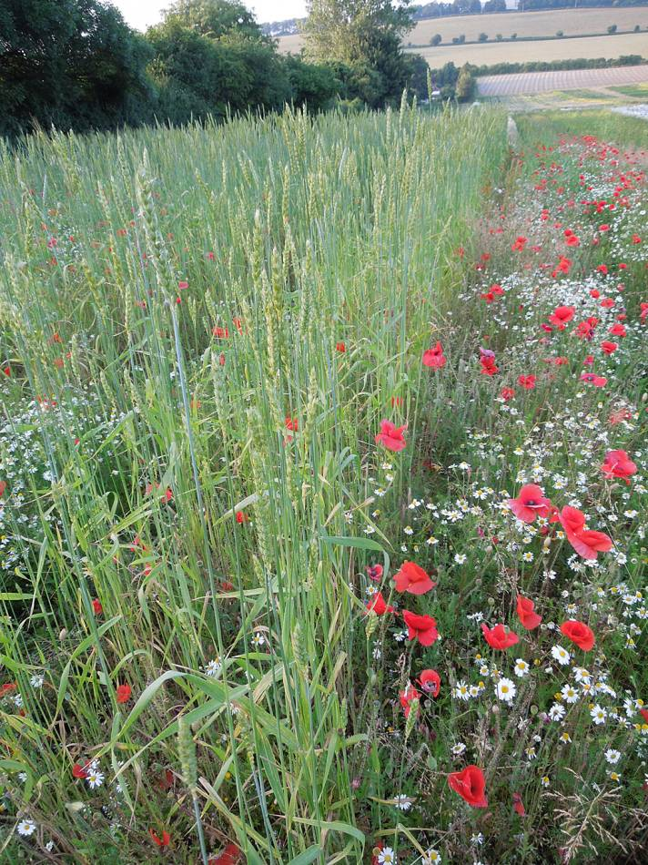 Old Kent Red in foreground - Perry Court Farm review 13/7/13 - 7:07pm&nbsp;12<sup>th</sup>&nbsp;Jul.&nbsp;'13