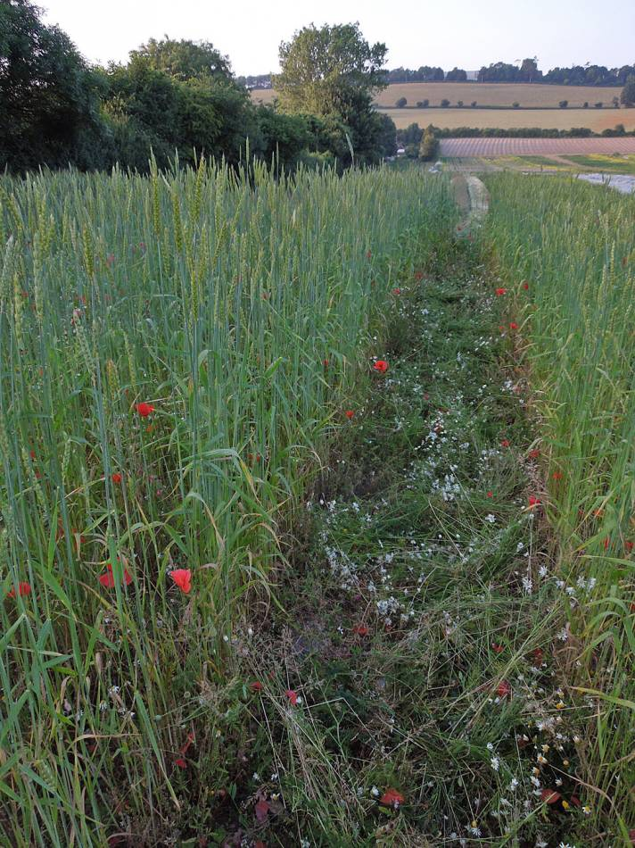 Red Lammas composite, foreground left, BBA red #2, behind, Old Kent Red right, Perry Court Farm review 13/7/13 - 7:11pm&nbsp;12<sup>th</sup>&nbsp;Jul.&nbsp;'13