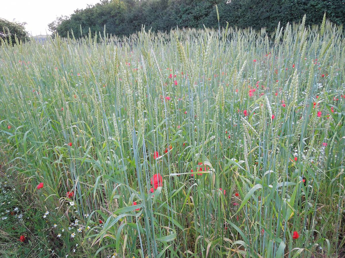 BBA Red #2 winter heritage mix - Perry Court Farm review 13/7/13 - 7:12pm&nbsp;12<sup>th</sup>&nbsp;Jul.&nbsp;'13