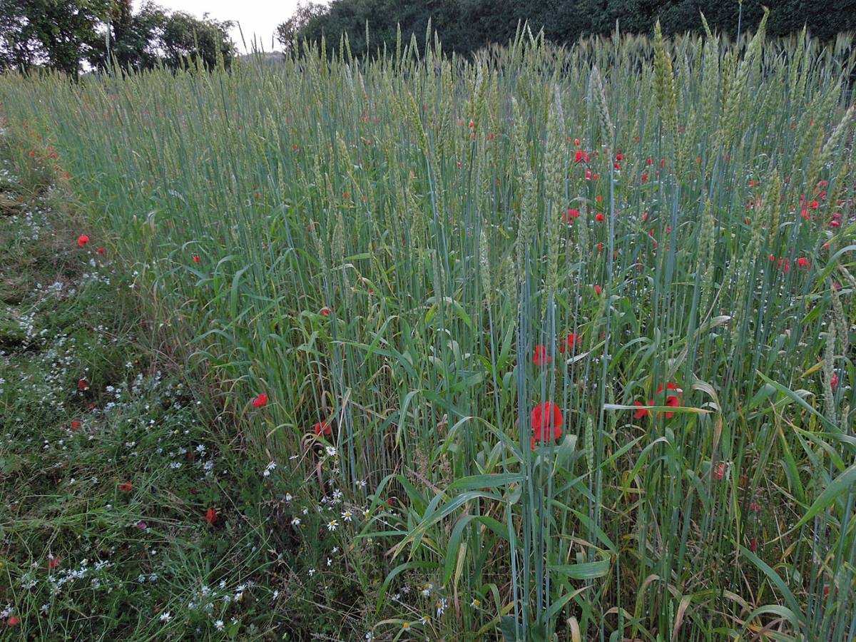 Red Lammas composite - Perry Court Farm review 13/7/13 - 7:13pm&nbsp;12<sup>th</sup>&nbsp;Jul.&nbsp;'13