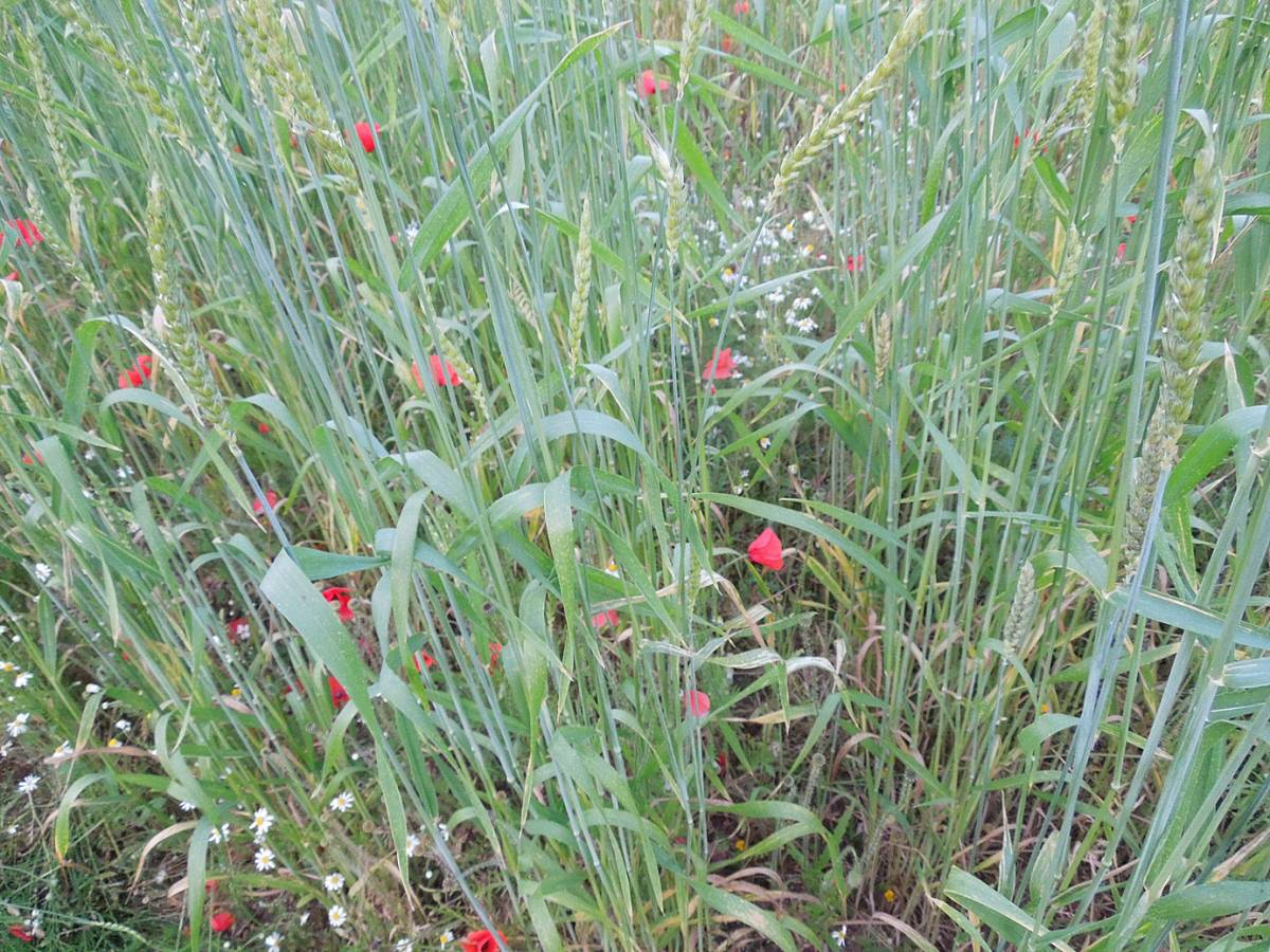 Red Lammas composite - Perry Court Farm review 13/7/13 - 7:24pm&nbsp;12<sup>th</sup>&nbsp;Jul.&nbsp;'13