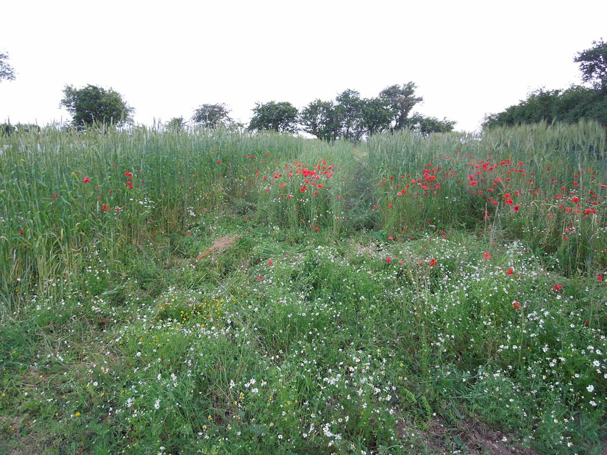 from left, BBA Red #2 with Red Lammas behind, Damant spring heritage mix, BBA Red #1 winter mix, Perry Court Farm review 13/7/13 - 7:51pm&nbsp;12<sup>th</sup>&nbsp;Jul.&nbsp;'13