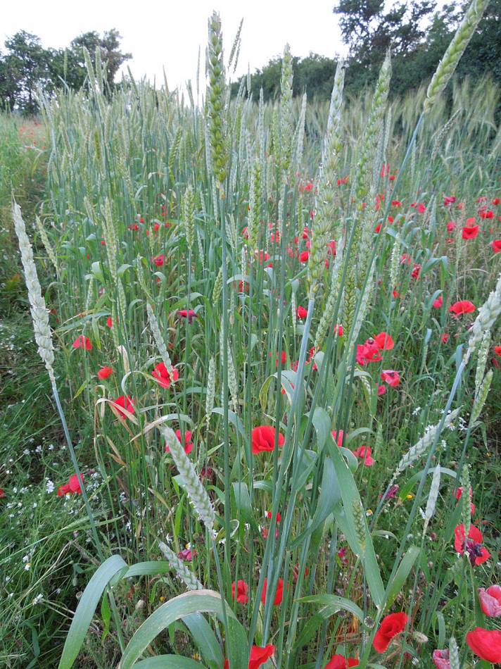 BBA Red #1 winter heritage mix, Perry Court Farm review 13/7/13 - 7:52pm&nbsp;12<sup>th</sup>&nbsp;Jul.&nbsp;'13