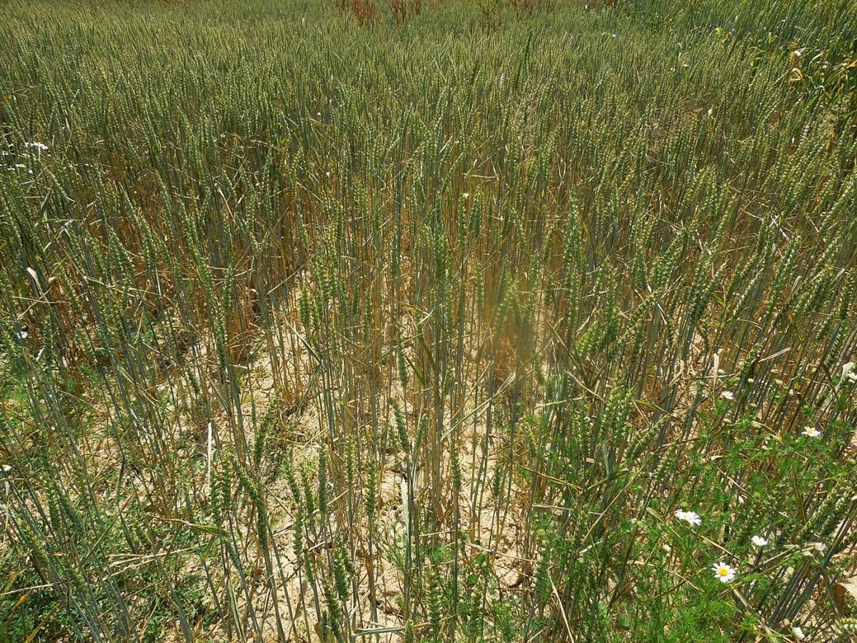 Magister modern winter wheat, WoWo crop review 18/7/13 - 11:41am&nbsp;17<sup>th</sup>&nbsp;Jul.&nbsp;'13